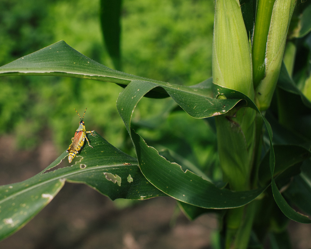 Locust infested corn crops