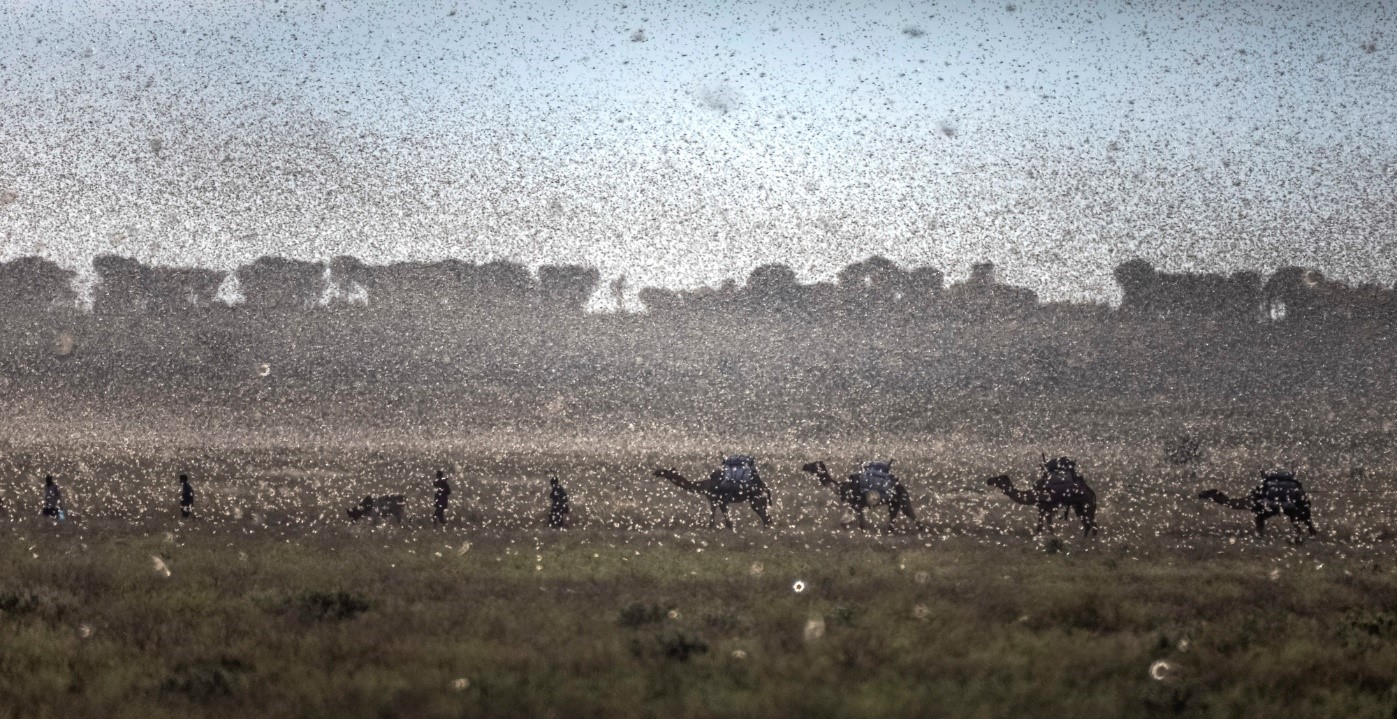 A small herd of camels, seen through a swarm of desert locusts, walks near Jijiga, in Ethiopia's Somali Region, where the locusts travelled from into Kenya. Petterik Wiggers_Oxfam