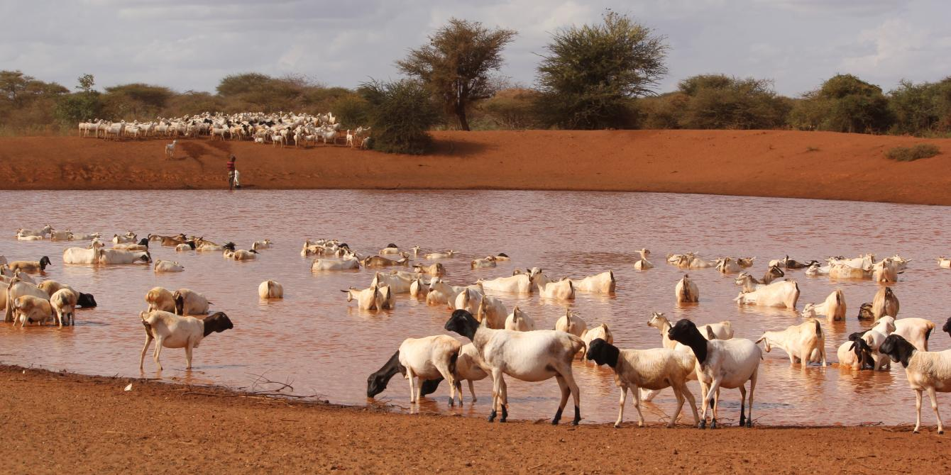 Goats drinking water from a borehole. Photo Credit: Benson Guantai