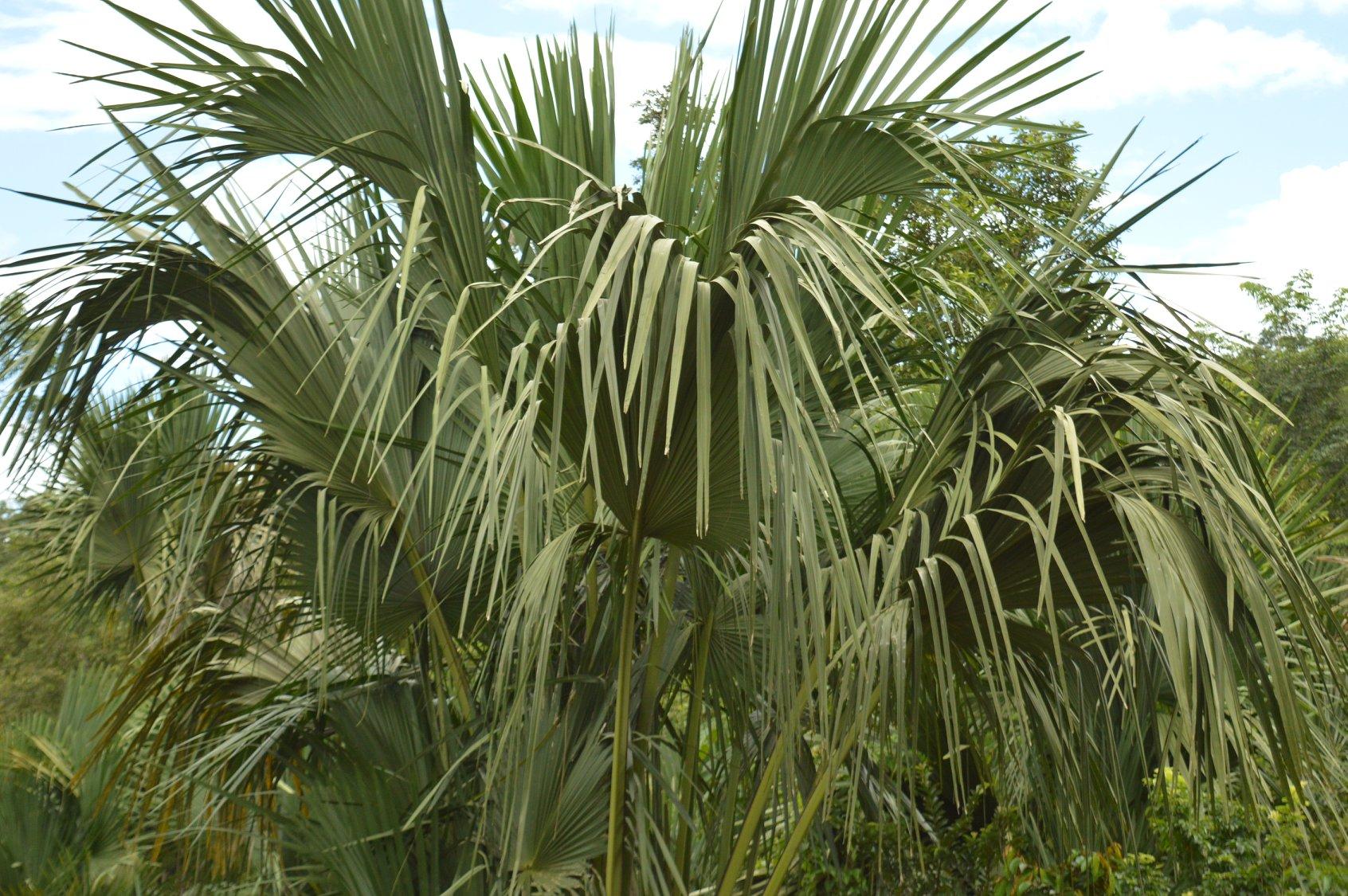 Talipot plant