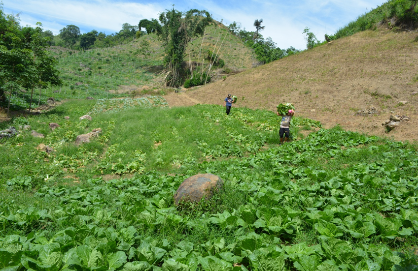 Farmers in scenic Titulok village harvest their first batch of cauliflower and Chinese cabbage to sell at the Harvest Festival. (Airah Cadiogan/Oxfam)