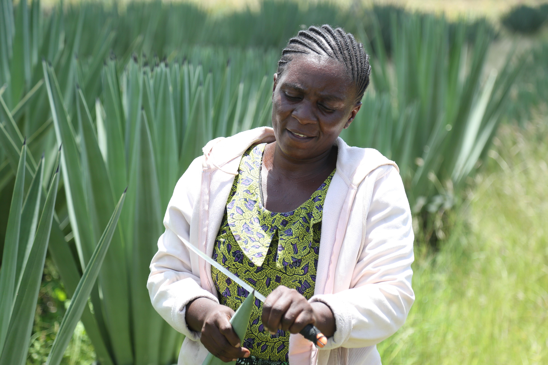 Tabu Hashimu cutting string of sisal leaf at her farm in Mipa village (Photo credit: Kisuma Mapunda/Mapunda)
