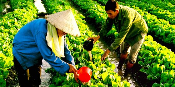 Farrners harvest green as part of GROW Vietnam. Credit: Oxfam Vietnam